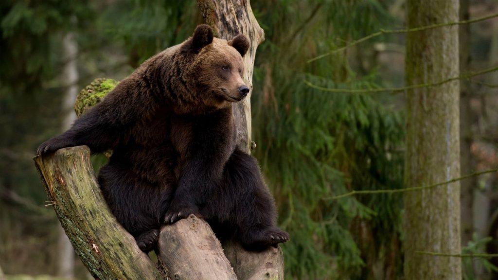 Отдыхаем в лесу. Что нужно знать о медведях и нападениях на людей?